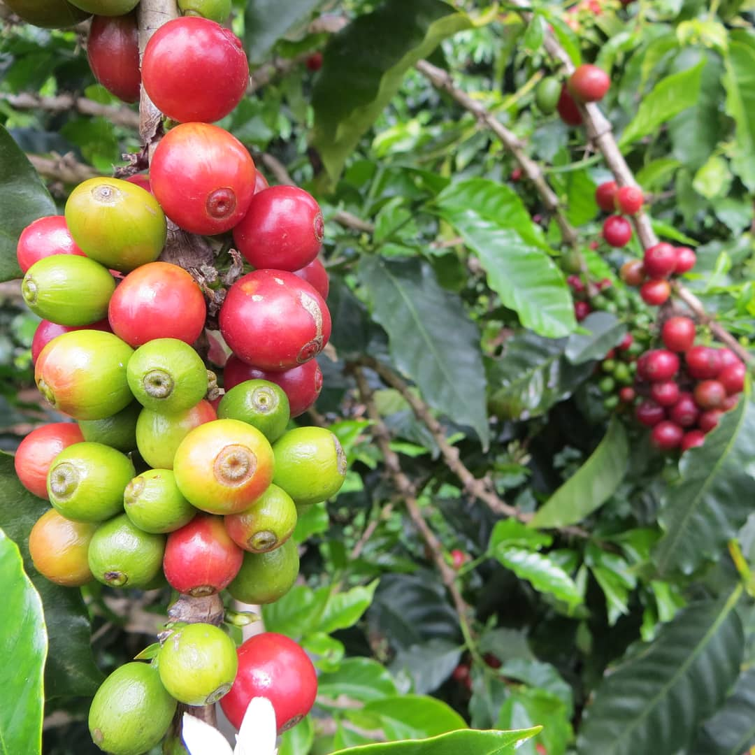 green and red coffee cherries