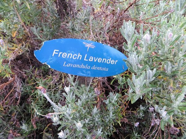 French lavender growing outside